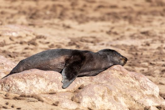 resting brown fur seal, african carnivore in one of biggest colony in Cape Cross, Namibia safari wildlife