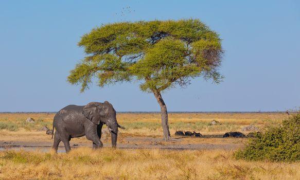 dirty and muddy African Elephant in savanna with alone acacia tree. Savuti, Chobe National Park, Botswana safari wildlife