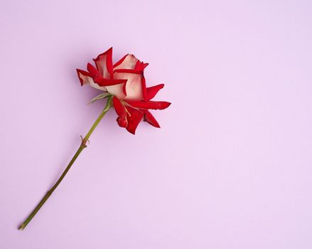 blooming red rose with green leaves on a purple background, flat lay