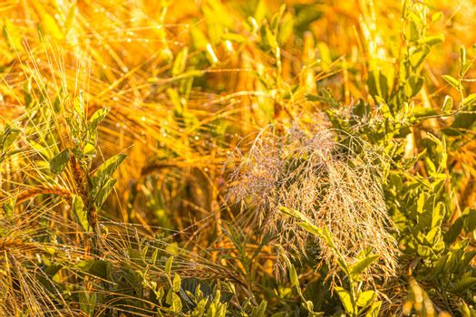 Sunrise in an agricultural field with golden ears of ripe rye covered with dew in the early morning. The glare of the sun is reflected in the water drops.