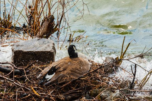 Canada goose trying to protect nest from rising water.
