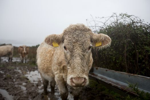 Close-up of Cow in muddy field