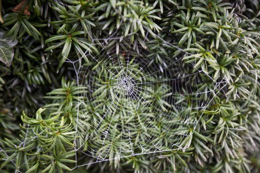 Frosty spider web in front of green leaves
