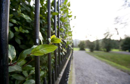 Leaves growing through metal fence