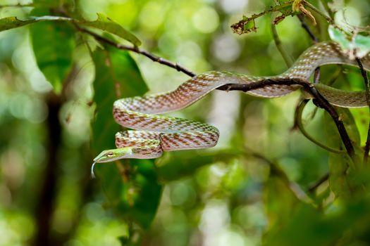 Oriental Whipsnake or Asian Vine Snake on tree, (Ahaetulla prasina) Tangkoko National Park. Sulawesi, Indonesia, Wildlife