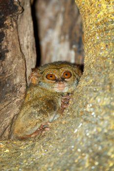 very rare and endemic Spectral Tarsier, Tarsius spectrum,Tangkoko National Park, Sulawesi, the worlds smallest primate, Indonesia wildlife