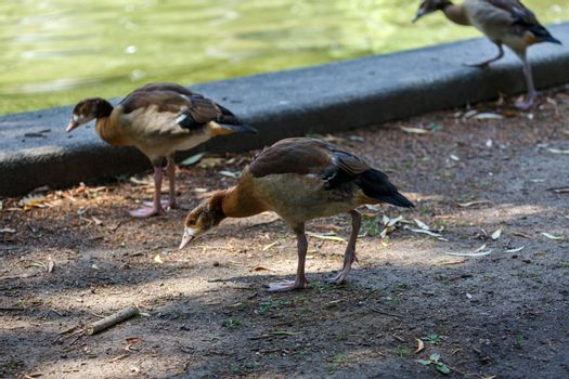 Young egyptian goose near to the water
