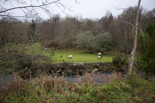 Sheep grazing next a stream, Kenmare, Ireland