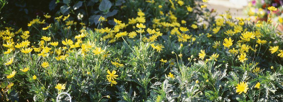 Yellow windflowers growing in field