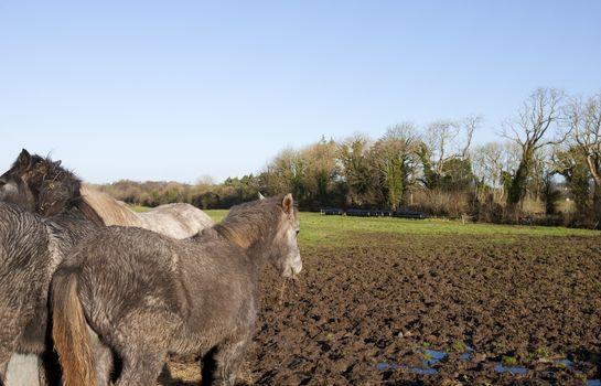 Horses in muddy field