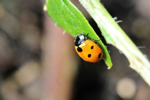 A ladybug as a close-up on a green plant