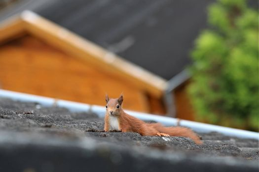 One brown squirrel runs over a black roof