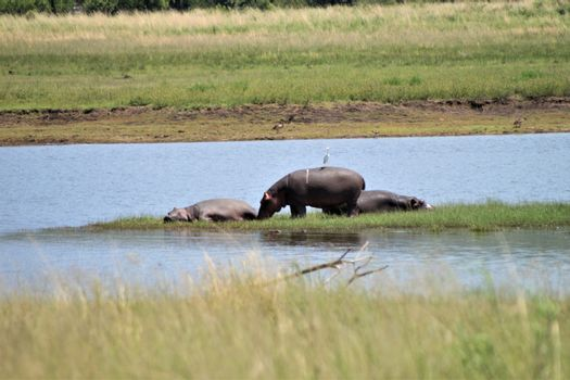 Hippotamus with a bird on his back and two hippos lie next to him in the gras