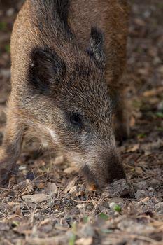 Wild boar eat acorns under the oaks