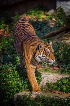 Asian tiger in Barcelona Zoo, Spain