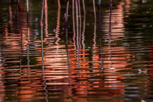 Flamingos reflection on the water