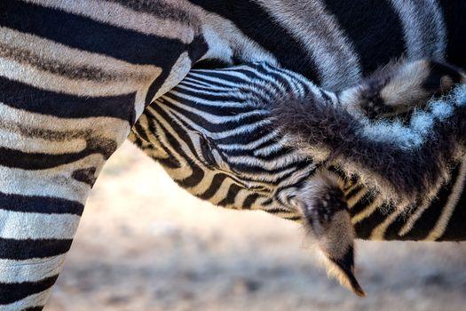 Zebra family close up portrait