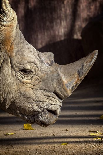 Close up of rhino in the zoo of Barcelona in Spain