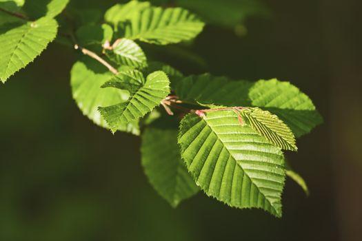 Close up of hornbeam leaves