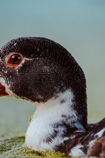 Close up of a duck and his eye