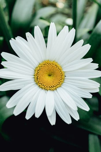 Daisy with huge petals