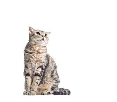 american short hair cat looking up
