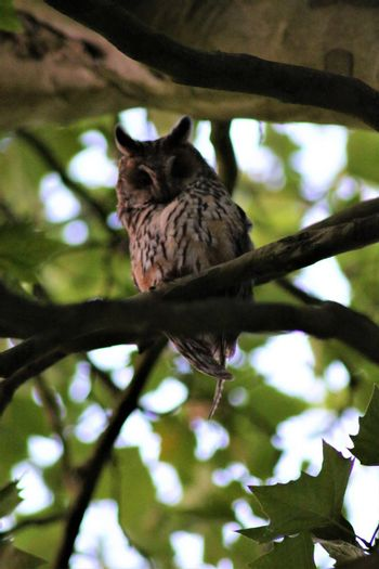 One long-eared owl sits on a branch in a plantane