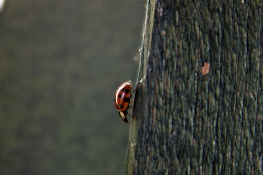 One ladybug on the edge of a wooden board with blurry background