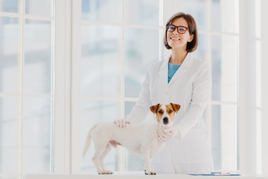 Pedigree dog russell terrier examined and consulted by veterinarian, pose near examination table in vet clinic, going to have vaccination in medical office. Domestic animal visits good doctor