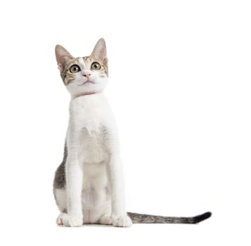 young cat isolated on white background