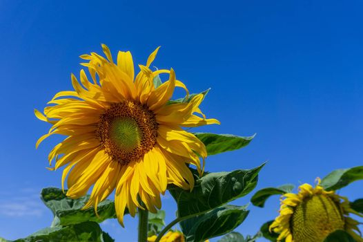 Yellow sunflowers, Helianthus, growing in an agricultural filed viewed low angle against a blue sky in summer with copy space