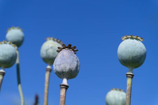 Close up on the seed heads or seed pods of poppies growing outdoors in a field under a sunny blue sky in a low angle view from below