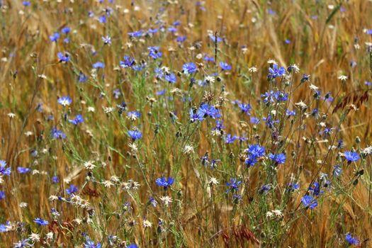 many cornflowers in a field
