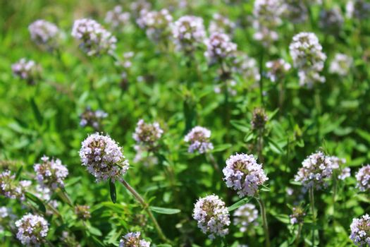blooming thyme in the garden