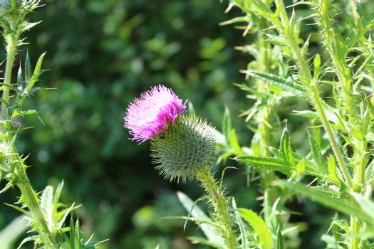 blossoming boar thistle in the meadow