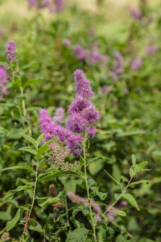 purple flower grows on green grass