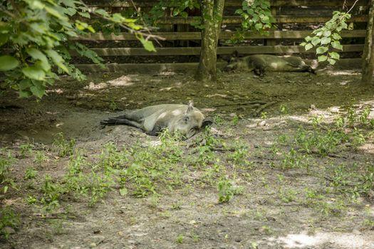 boar basking in the sun, Bialowieza National Park