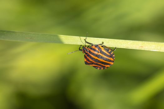 colorful insect on a blade of grass, close up
