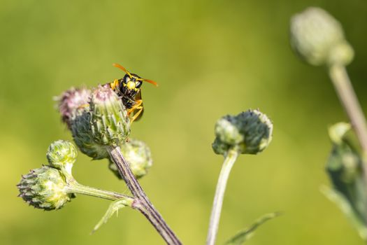 the wasp walks on a thistle flower