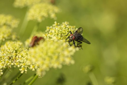common fly sitting on a yellow flower
