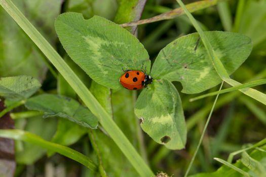 little beautiful ladybug sits on a green leaf