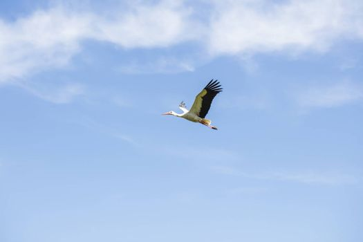 beautiful stork in flight against the background of blue sky