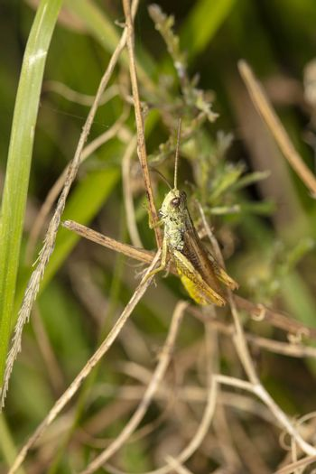 beautiful large grasshopper sits on a blade of grass