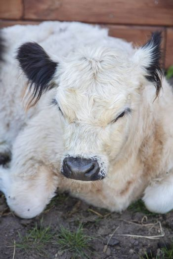 portrait of a cute little calf who is resting on the grass