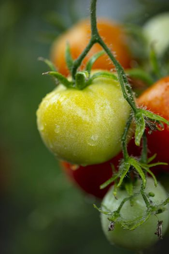 beautiful red and green tomatoes grow on the bushes in the greenhouse