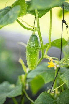 fresh green cucumbers grow on the bush