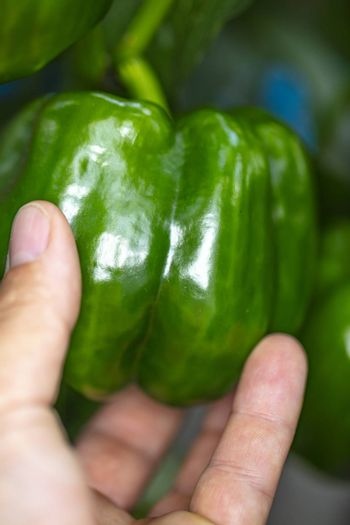 green pepper grows on a bush, the gardener watches and holds it in his hand