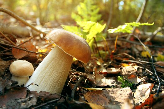 Autumn forest porcini mushrooms in the forest