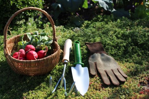 radish in a basket in the garden