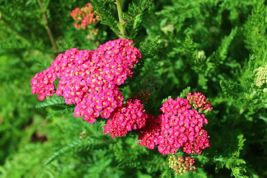 pink blossoming yarrow in the garden